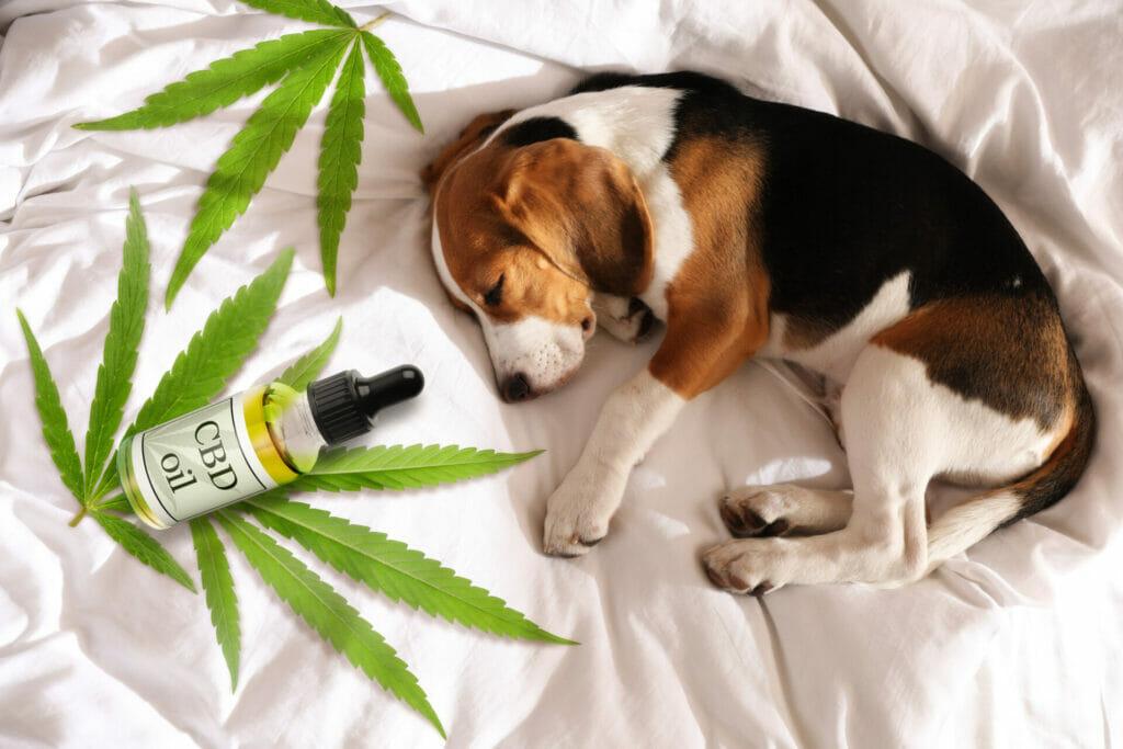 bienfaits relaxant huile cbd chien