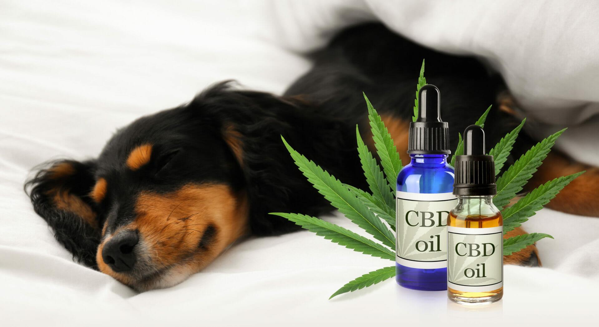 bienfaits huile de cbd médical pour les chiens